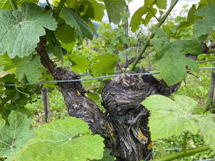 Ali se splača pomladiti star vinograd?